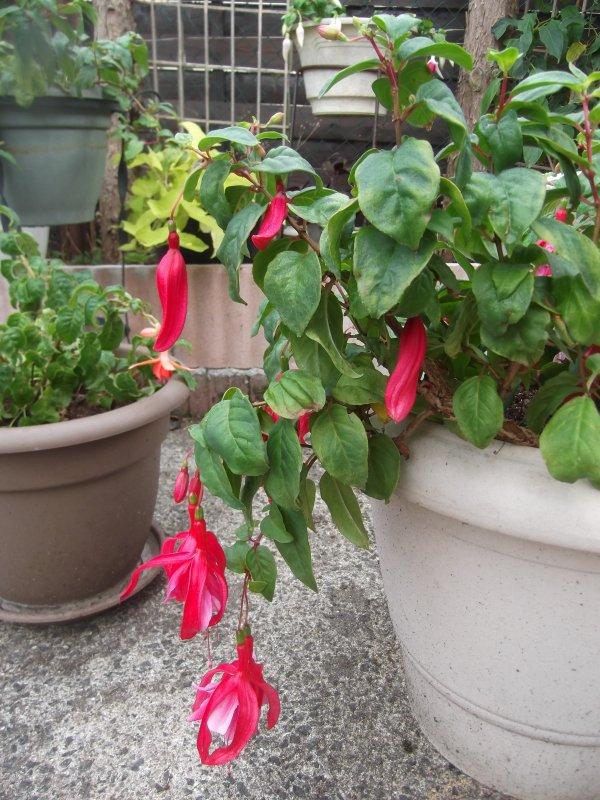 Fuchsias en folie