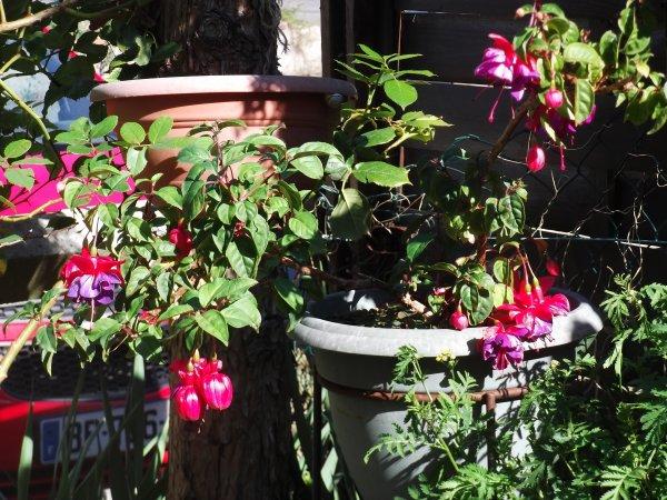 Fuchsias et soleil