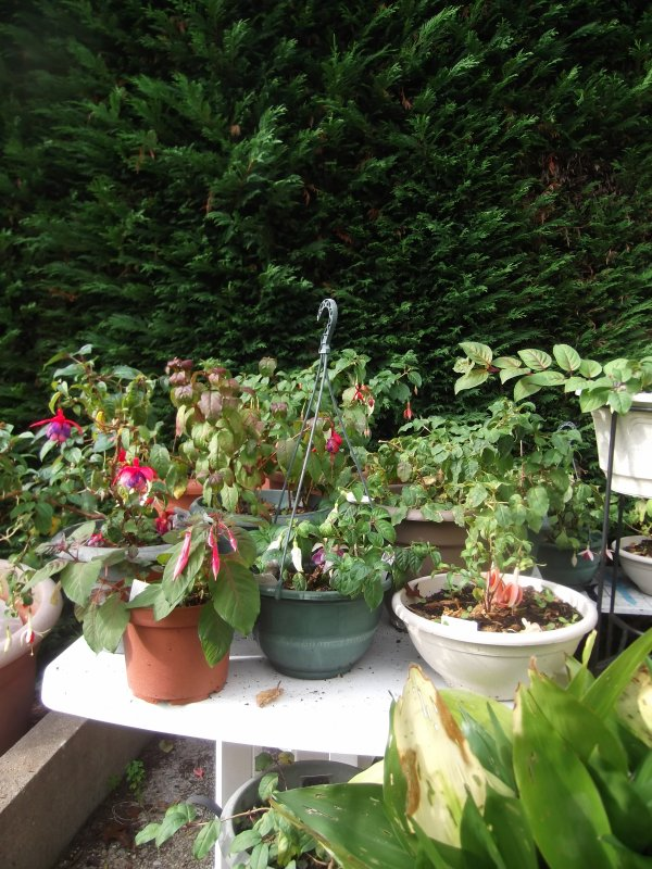 L'automne, les fuchsias aiment bien  :D