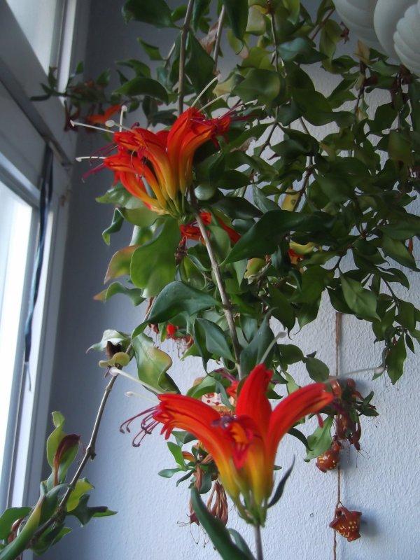 Aeschynanthus ou plante atch'oum!!