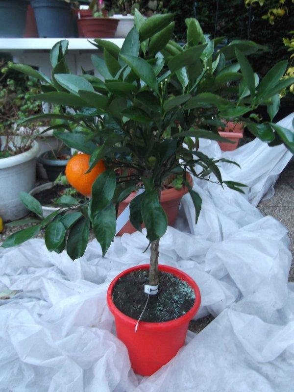 Le petit nouveau: satsuma variété owari (sans doute)