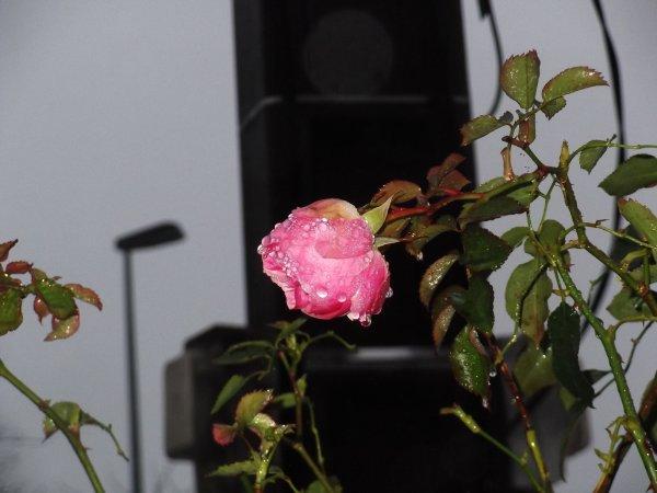 Une rose en hiver...Pierre au rapport!