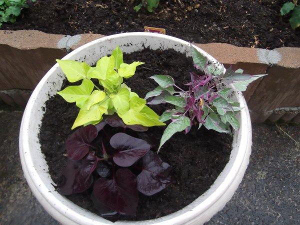 Pluies = mise en place des plantes