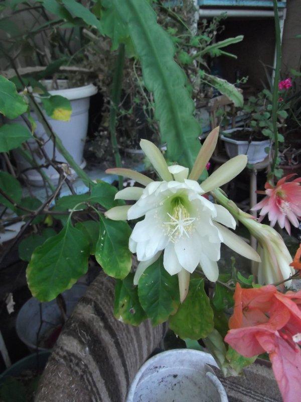 cactus orchidée en fleurs chez maman