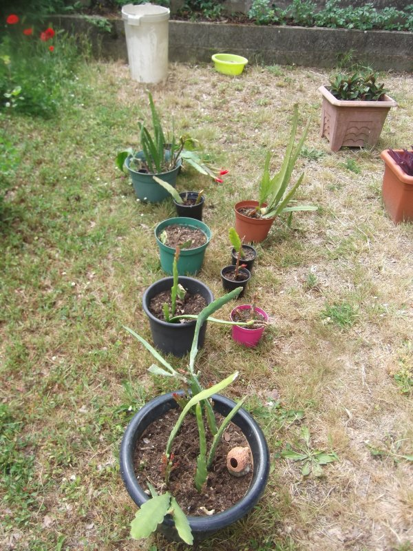 Mes cactus-orchidées