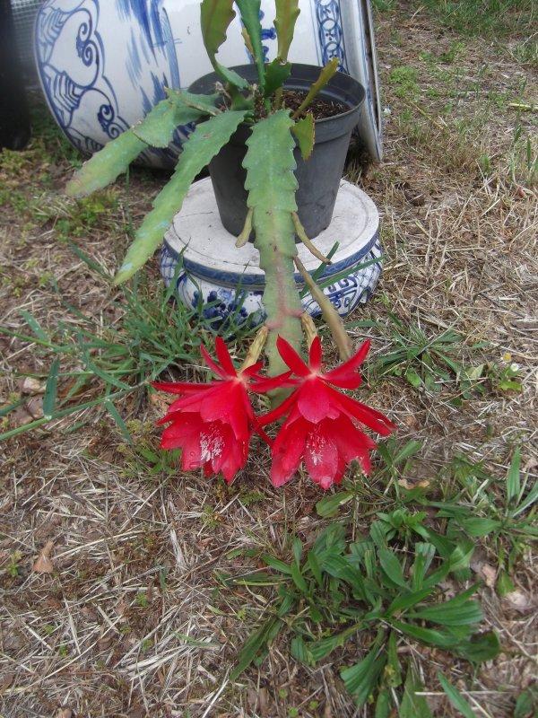 Cactus-orchidée