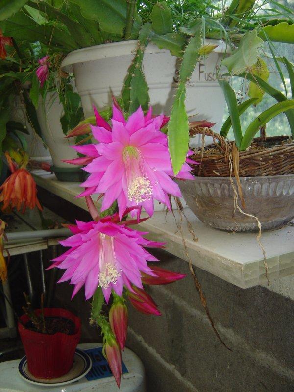 Boutures de cactus-orchidées ou epiphyllum ou épicactus