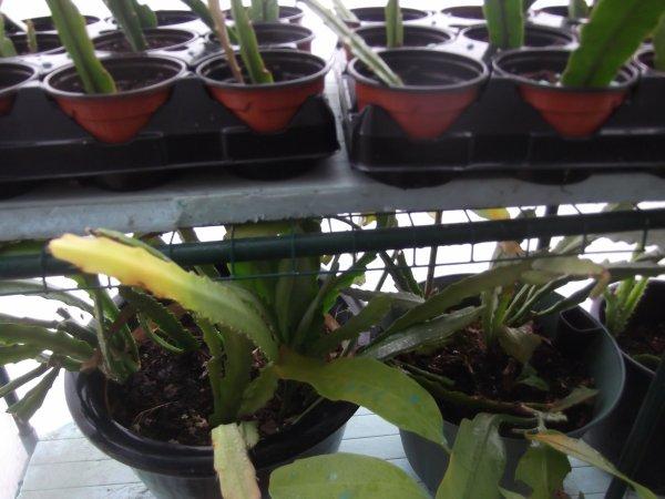 Boutures de cactus orchidée