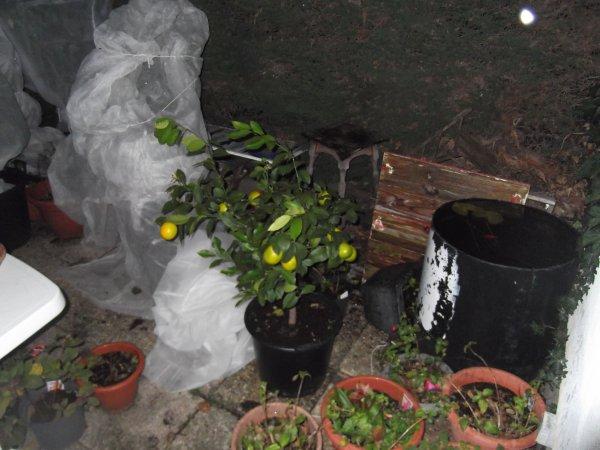 """Agrumes maison, citrons en phase """"je mûris sous la pluie"""""""