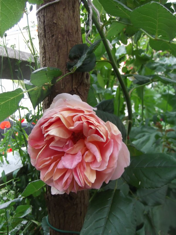 My name is Darby, Abraham Darby by Austin