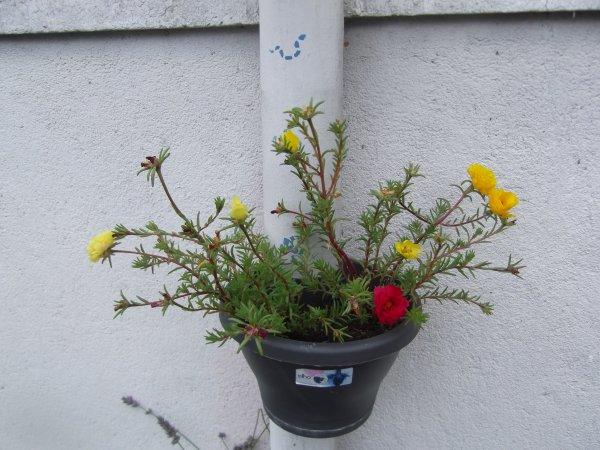 Explosions (sans aucun risque) des pourpiers, c'est fleurs à toutes les potées.