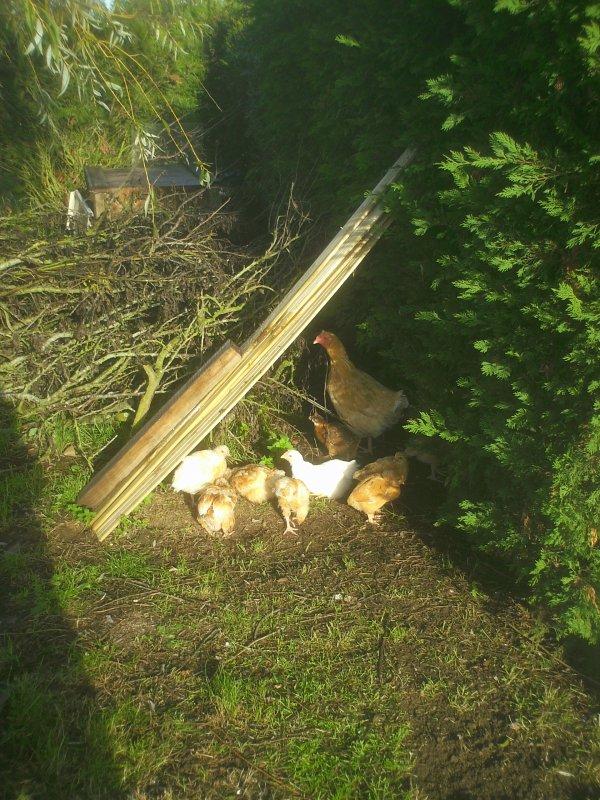 [Photos 01]dioramas et poules