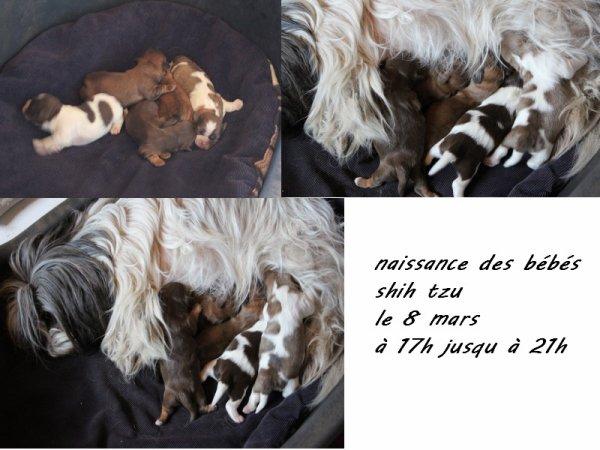 naissance des bébés  shih tzu