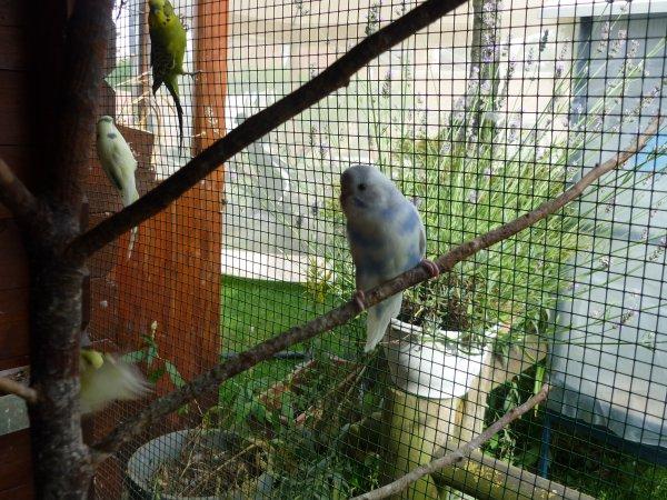 jeune perruche