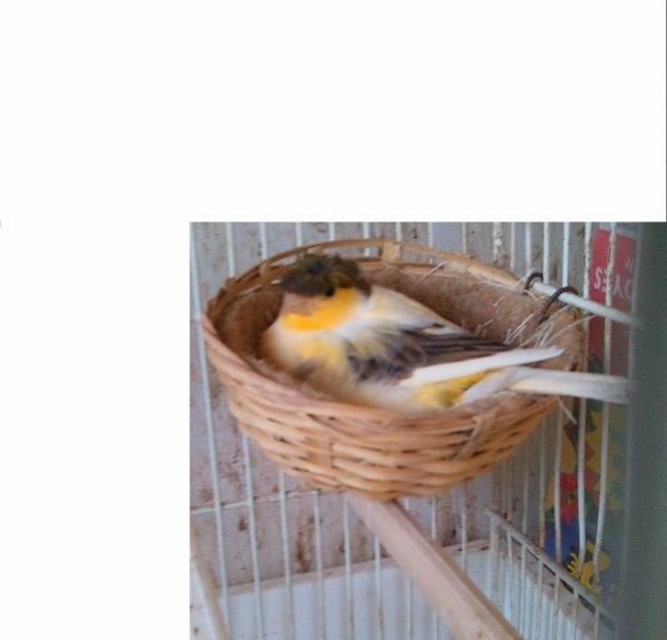 femelle canari qui couve