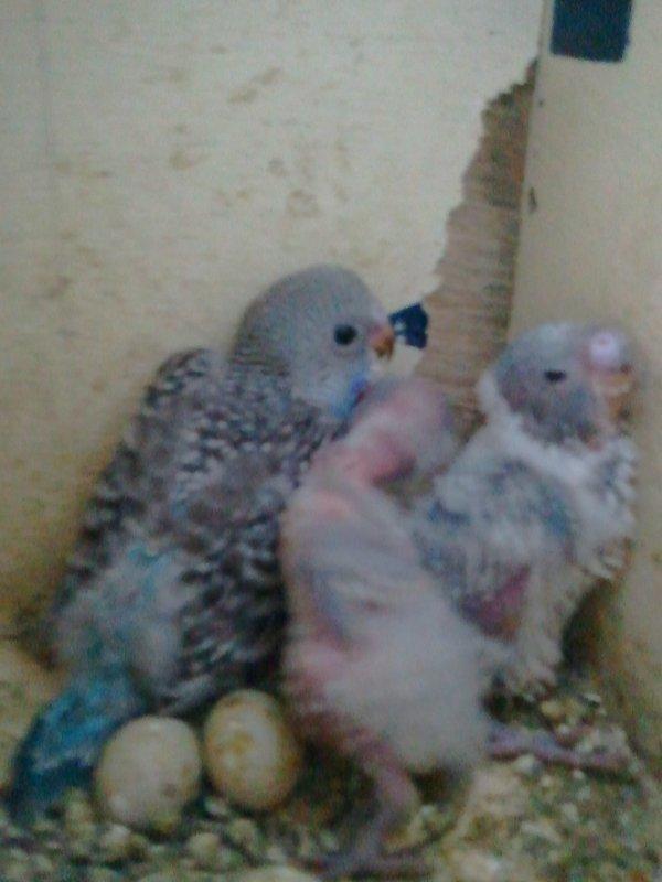 3 jeune perruche
