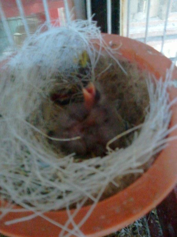 3 nouveau  jeune canari
