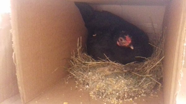 Ma poule noire déjà 3 poussin