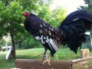 Photo de Gallo