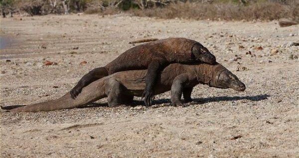 Dragon De Komodo Terre Menacee