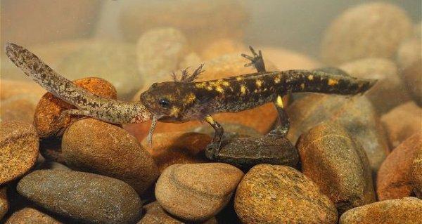 La Salamandre Commune, Salamandre Tachetée, Salamandre de