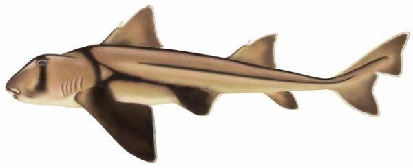 Le Requin Dormeur Taureau Ou Requin De Port Jackson Terre Menacee