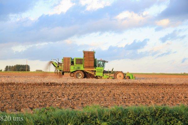 arrachage de pommes de terre 2013 chantier n°8