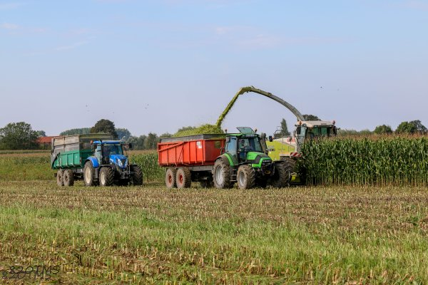 Premier ensilage de maïs il y a une quinzaine de jours