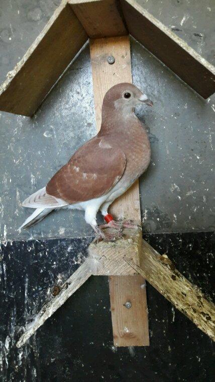 Encore 1 pigeon en moins