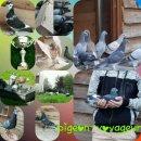 Photo de pigeon-voyageur02