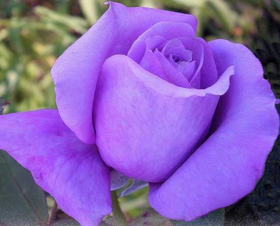 Signification De La Rose Violette Blog De Bellesroses11425