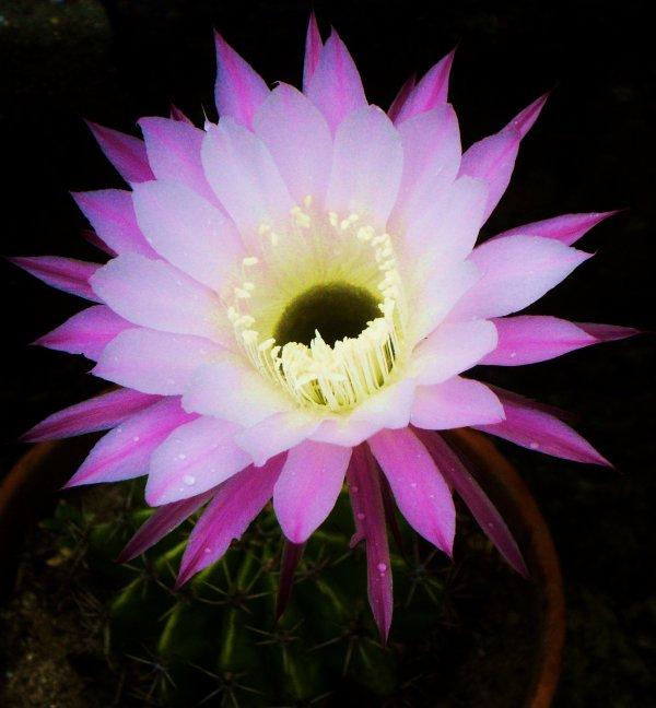 Fleur De Cactus Fleurira Et Belle Seras Cette Fleur Rare