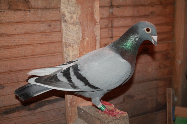 vente pigeons