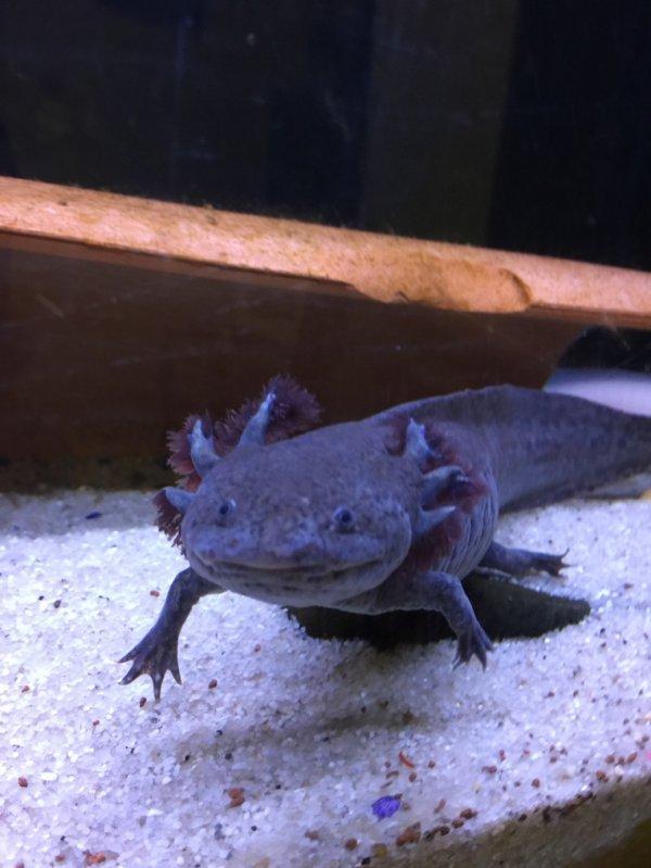 Maman axolotl...