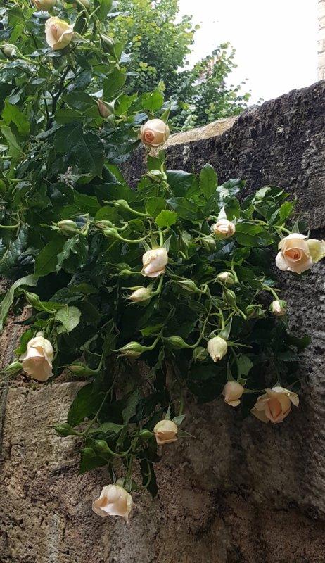 Le rosier de ma cour.