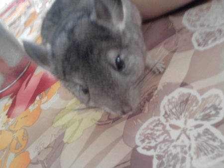 My chinchilla............♥