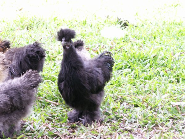 poule soie de couleur