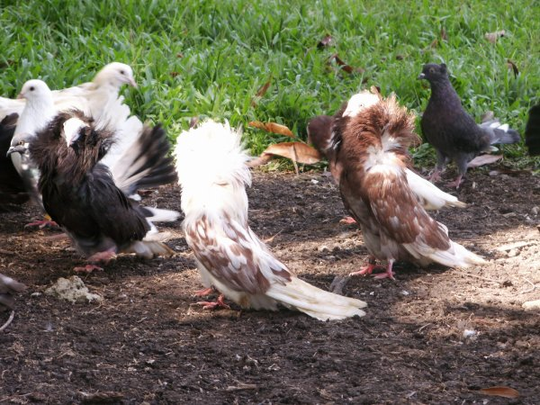 pigeons divers