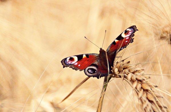 Les papillons.