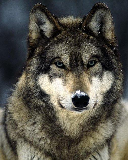 Diff rentes esp ces de loups blog de viveleloup - Differentes especes de pins ...