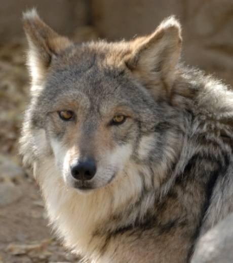 Le cadavre d'un loup d'Europe a été retrouvé hier à la surface d'un étang en Isère