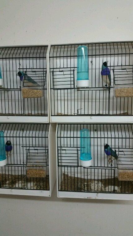 Quelques bleus pour la reproduction !