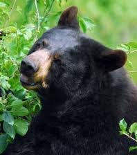 La bile des ours