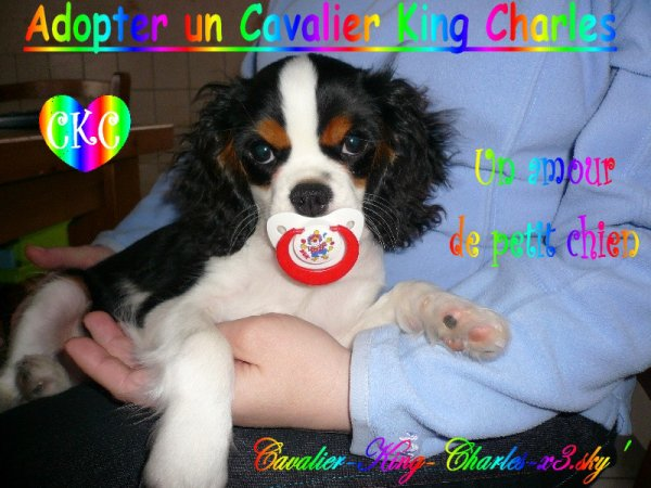 Adopter Un Cavalier King Charles Blog De Cavalier King Charles X3