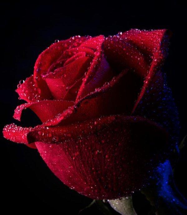 rose rouge symbole de l 39 amour charme sensualit. Black Bedroom Furniture Sets. Home Design Ideas