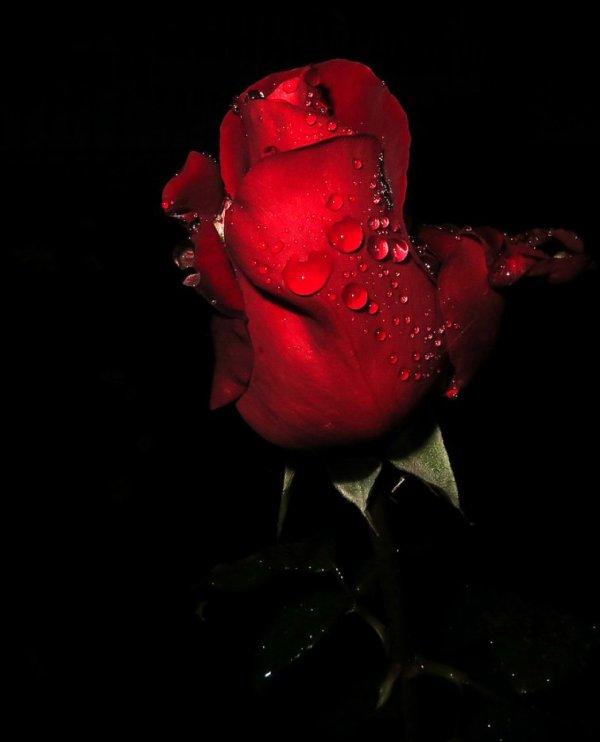 **rose de l'amour**