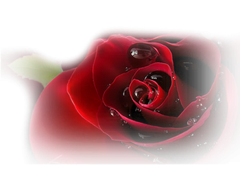 **symbole d'amour passion, elles expriment aussi la reconnaissance, le respect, l'admiration du courage.