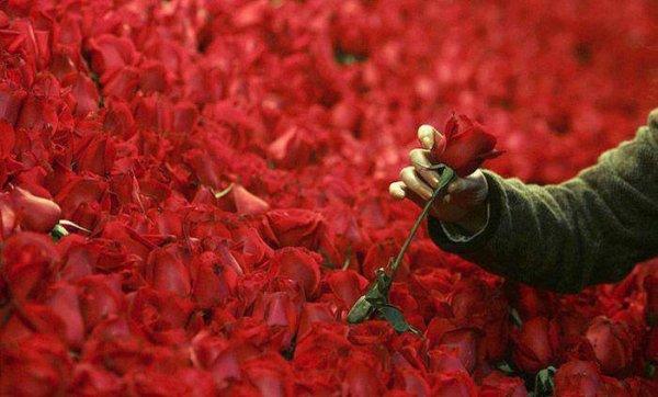 *** ces roses, une t'est destinée... ****