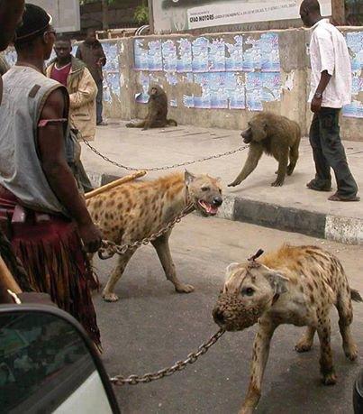 au lieu d'élever des animaux domestique  ou  au moins des chiens ; au porquinafaso ils fait élever les monstre