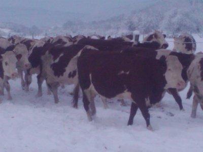 Mes vaches cette hier